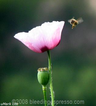 Flight of the Honeybee on Flickr