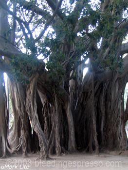 Ficus magnolioides, Villa Garibaldi, Palermo, Sicily on Flickr