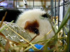 Eyepatch guinea pig by Benimoto on Flickr
