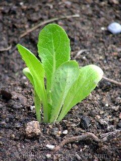 Tiny lettuce on Flickr