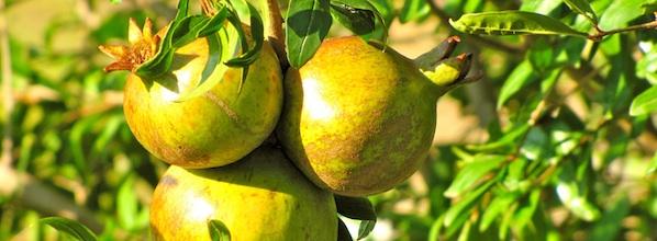 Pomegranates - melegrane